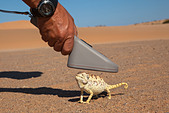 Namaqua chameleon (Chamaeleo namaquensis), being scanned for microchip, part of conservation project, Namib Desert, Namibia - Stock Image - DC73XT