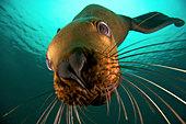 Canada, British Columbia, Hornby Island, Steller sea lion (Eumetopias jubatus) underwater - Stock Image - CPXWA0