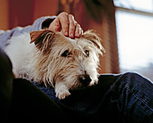 Wire Haired Terrier sitting on owners lap - Stock Image - A01BMW