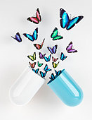 Butterflies emerging from capsule - Stock Image - CR1FGD