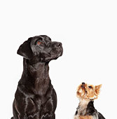 Dogs looking up - Stock Image - C90JTT