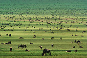 Wildebeests grazing, Connochaetes sp., Serengeti National Park, Tanzania - Stock Image - BFGGHG