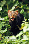 Jaguarundi Herpailurus yaguarondi small wild cat neotropical rainforest wildlife rescue center near Tena Amazonian Ecuador - Stock Image - B6NW46