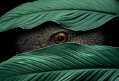 Concepts # FL1150, Kitchin/Hurst; Reptile Peeking Through Leaves - Stock Image - B90CFT