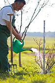 Senior man watering his garden/orchard - Stock Image - CB5RBP