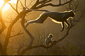 Hanuman Langur leaping through the treetops Bandhavgarh India - Stock Image - AFMT84