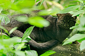 Jaguarundi (Herpailurus yagouaroundi, Felis yagouaroundi) occurrence in South America, captive, France - Stock Image - DEY4Y8