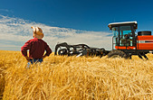 a man views harvest ready barley being swathed neat Treherne, Manitoba, Canada - Stock Image - CFAG80