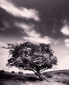 Sepia photo of a windswept tree on the moors - Stock Image - ACFPX8
