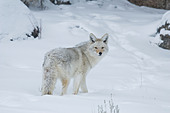 Coyote in Yellowstone National Park - Stock Image - ABT2NR