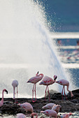 Lesser Flamingo (Phoenicopterus minor ) at Lake Bogoria's geyser and hot springs.Kenya - Stock Image - C4XENC