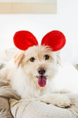 Dog wearing toy ears on bed - Stock Image - CNTF24