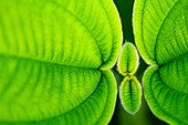 Stunning green leaf  macro shot showing the texture and vibrant colour during a war and sunny day. - Stock Image - CTXP9D
