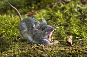 Close-up of deer mouse with mouth open - Stock Image - C4NDHF