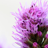 liatris on white fine art photography Jane Ann Butler Photography JABP415 - Stock Image - BCG7FP