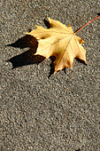 Single Yellow Maple Leaf on Concrete on a Bright Sunny Day with Copy Space - Stock Image - AJXMYG