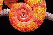 Panther Chameleon, Furcifer pardalis, Ambilobe, Madagascar - Stock Image - BG7103
