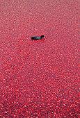 Moorhen Gallinula chloropus floating amongst a large raft of Vaccinium macrocarpon cranberry American cranberry - Stock Image - B3P5NK