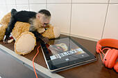 The monkey Mally of Canadian singer Justin Bieber sits on a stuffed toy next to an iPad with a photo of the singer at the Munich-Riem animal shelter in Munich, Germany, 02 April 2013. Customs confiscated the Capuchin monkey because it did not have the necessary papers to enter Germany. The monkey will stay at the shelter until the matter is resolved. Photo: FELIX HOERHAGER - Stock Image - D5GF1M
