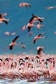 Lesser Flamingo (Phoenicopterus minor) at Lake Bogoria.Kenya - Stock Image - C4XC80