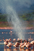 Lesser Flamingo (Phoenicopterus minor ) at Lake Bogoria's geyser and hot springs.Kenya - Stock Image - C4XENT