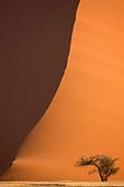 Tree in front of sand dune, Namib Desert, Namibia, Africa - Stock Image - AYH1KJ