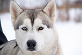 Husky sled dog with two different colored eyes. - Stock Image - A5BA3T