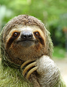 Closeup of a three-toed sloth, Costa Rica - Stock Image - DDPE8M