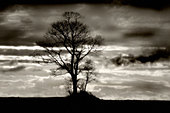 Solitary tree against a winter skyline mono image - Stock Image - AEN497