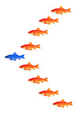 goldfishes - formation - Stock Image - B547A4