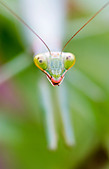 Head close up of praying mantis on green plant - Stock Image - A9P7Y3