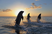 Common Bottlenose Dolphins Jumping in Sea at Sunset, Roatan, Bay Islands, Honduras - Stock Image - C85CCW