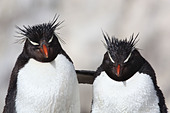 Rockhopper Penguin (Eudyptes chrysocome), embracing, Argentina, Penguin Island - Stock Image - CNYW72