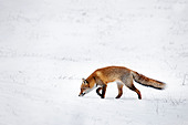 Hunting Red fox (Vulpes vulpes) following scent trail by prey in snow covered grassland in winter - Stock Image - D2PF3J