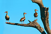Black-bellied whistling ducks (Dendrocygna autumnalis), Pantanal wetlands, Southwestern Brazil, South America - Stock Image - CFDD8T