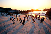 Jackass penguins on the beach at sunset The Boulders bird sanctuary near Simonstown West Cape South Africa - Stock Image - AKCJRT