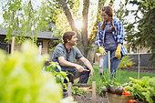Couple harvesting vegetables in garden - Stock Image - E3RJ0J