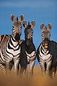 Zebras braying, Equus quagga, Masai Mara Reserve, Kenya - Stock Image - BFGGKP