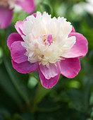 Paeonia lactiflora 'Gay Paree' - Peony - Stock Image - APJ96J