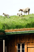 Sheep on a roof Lofoten islands Norway. - Stock Image - BBXJ8J