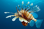 Lionfish.  Egypt, Red Sea. - Stock Image - BMETJJ