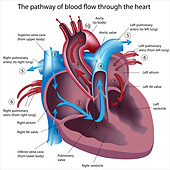 Pathway of blood flow through the heart - Stock Image - CT7KJE
