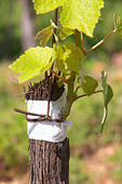 syrah field grafted on mourvedre one year ago mas du notaire rhone france - Stock Image - C0TDMP