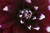 Purple Dahlia - Stock Image - AW2GAB