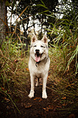 Dog panting in forest - Stock Image - D4K98K