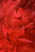 Red feathers background. - Stock Image - AXE1BW