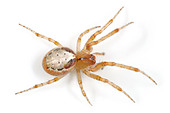 Zygiella Atrica spider on white background - Stock Image - AYRWG3