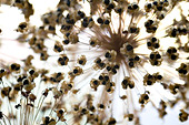 Allium christophii seed heads showing seed dispersal mechanism against white background - Stock Image - A12KGC