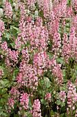 Heucherella Dayglow Pink - Stock Image - A75X3D