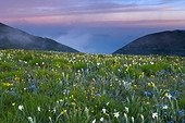 wild flowers growing at the Forca Canapine Monti Sibillini National Park Umbria Italy NR - Stock Image - ADCPBJ